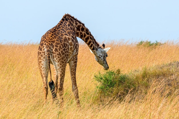 Giraffe in national park of kenya, africa