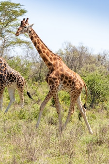 Giraffe in natural environment Free Photo