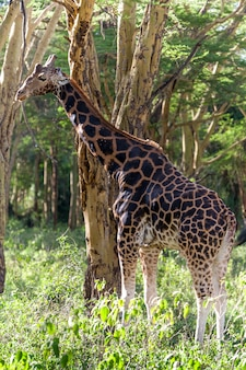 Giraffe in natural environment