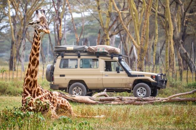 Giraffe near safari car in national park