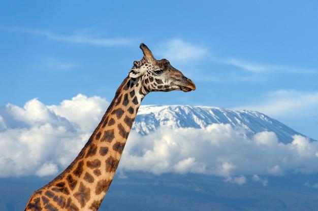 ケニア国立公園のキリマンジャロ山のキリン