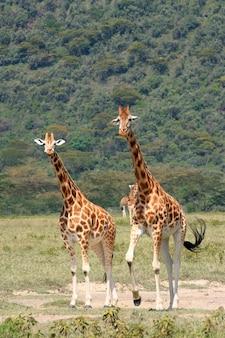 Жираф в национальном парке серенгети страна танзании восточная африка