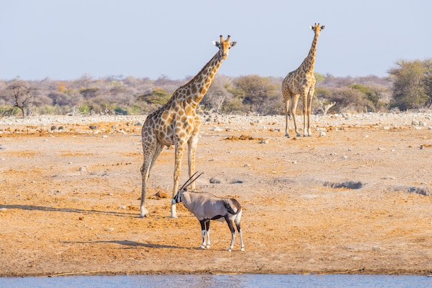 Giraffe and oryx walking in the bush.