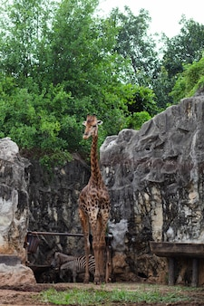 Giraffe on pasture in thailand.