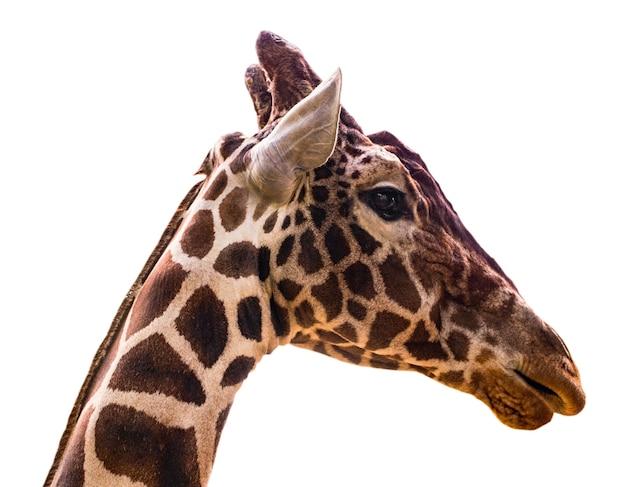 Портрет жирафа Premium Фотографии