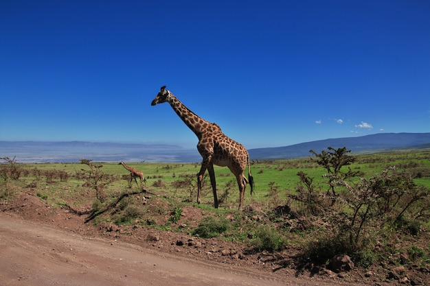 Giraffe on safari in kenia and tanzania, africa