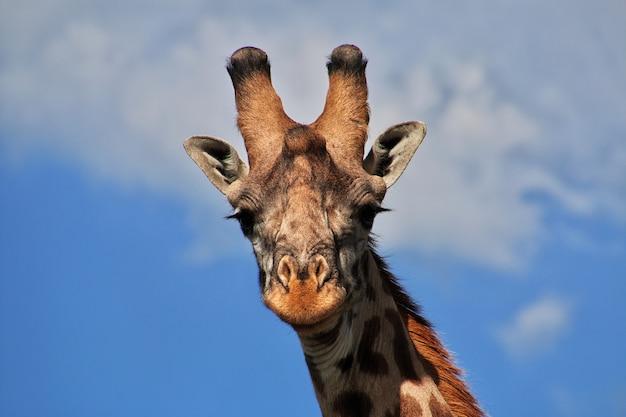Giraffe on safari in kenia and tanzania, africa