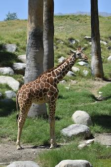 Жираф с полным телом и красивым голубым небом