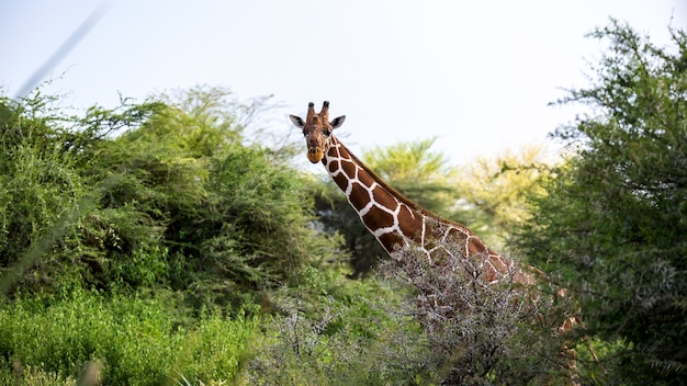 A giraffe stands between the acacia trees