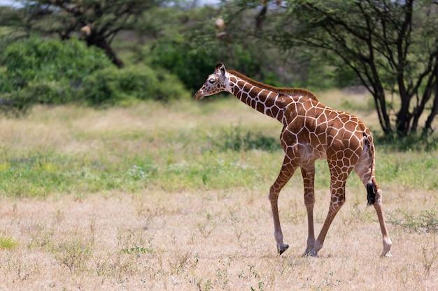Жираф гуляет по саванне между растениями