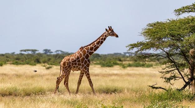 Жираф прогуливается по саванне между растениями