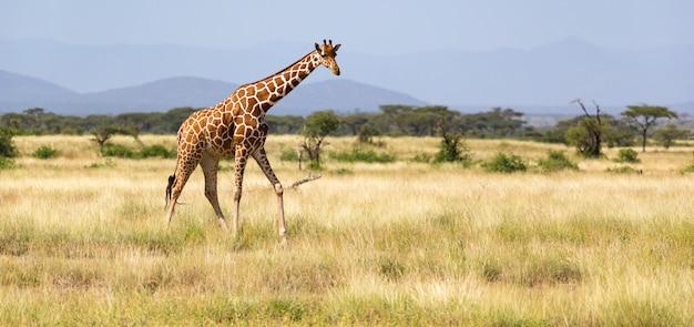 Жираф гуляет по саванне между растениями Premium Фотографии