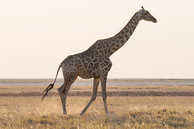 Giraffe walking in the bush on the desert pan. wildlife safari in the etosha national park, the main travel destination in namibia, africa. profile view.