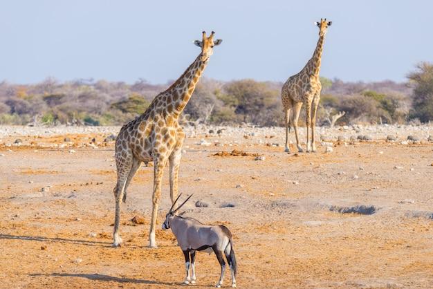 Giraffe walking in the bush on the desert pan. wildlife safari in the etosha national park.