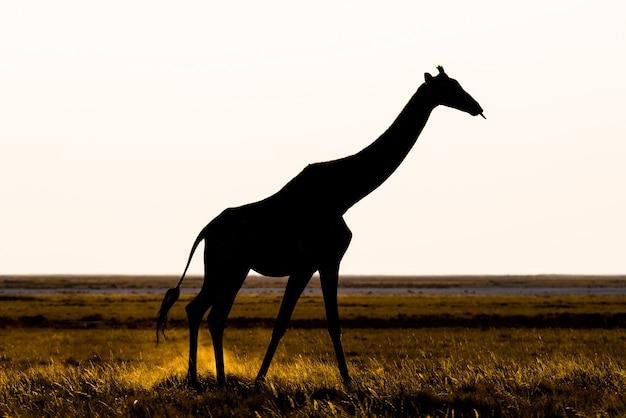 Жираф гуляя в куст на лотке пустыни на заходе солнца. сафари в национальном парке этоша, основное туристическое направление в намибии, африка. вид профиля, живописный мягкий свет.