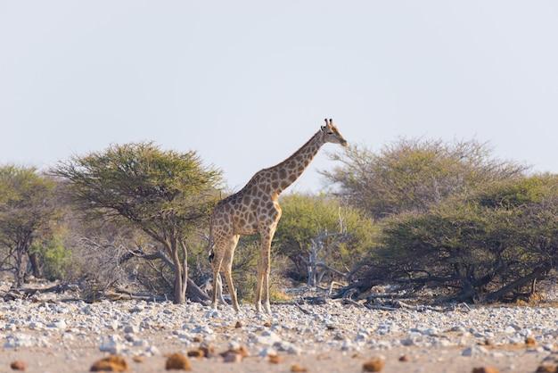 Жираф гуляя в куст на пустынной кастрюле. сафари дикой природы в национальном парке этоша