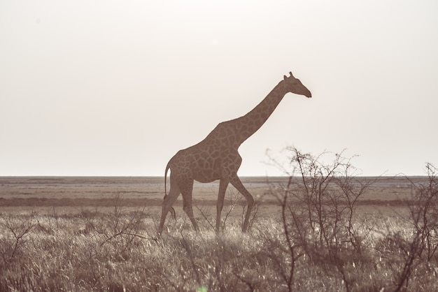 Жираф гуляя в куст на пустынной кастрюле. сафари дикой природы в национальном парке этоша.