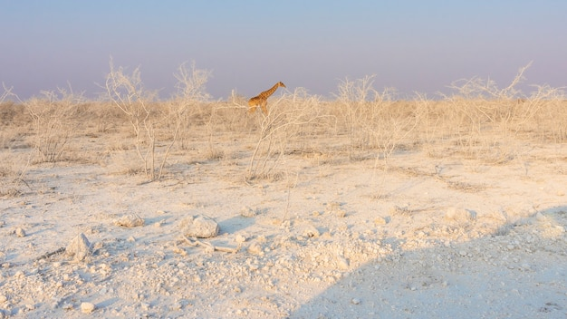 Giraffe walking through white landscape in the etosha national park in namibia, africa.