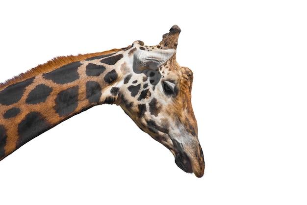 Giraffe on white isolated background