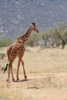 Giraffa allo stato brado