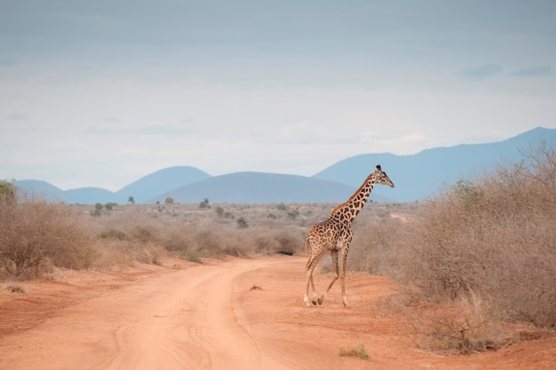 Giraffe wildlife in kenya