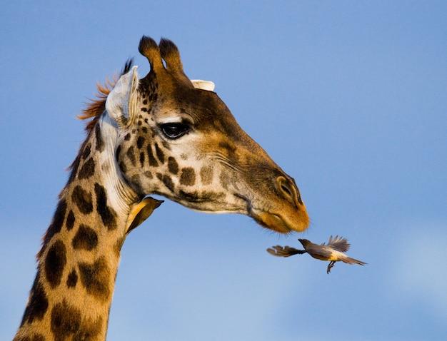 Жираф с птицей.