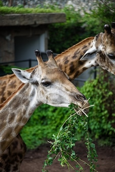 Giraffes are eating food that humans feed