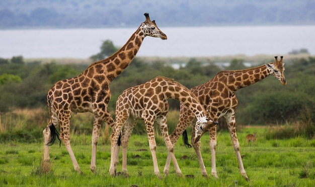 Жирафы стоят на фоне реки нил.