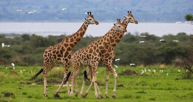 Идут жирафы на фоне реки нил.