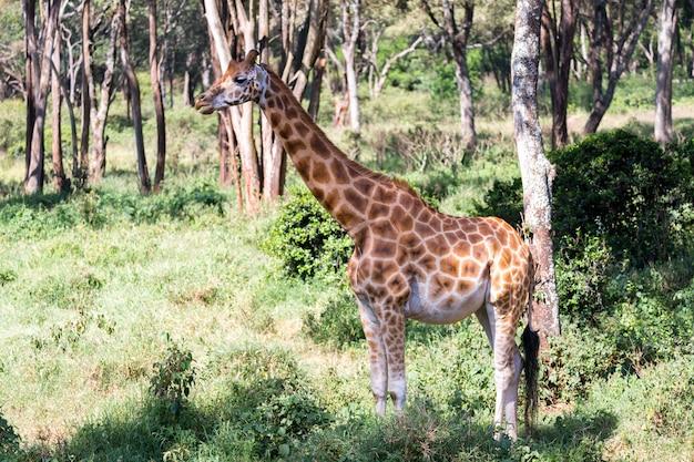 Жирафы между акациями в саванне кении