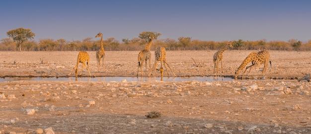 나미비아 에토샤 국립공원의 물웅덩이에서 물을 마시는 기린