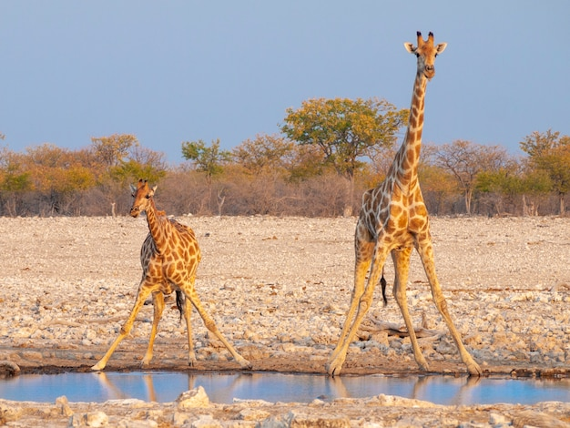 Giraffes drinking water at sunset in the etosha national park in namibia.