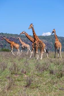 Стадо жирафов в саванне