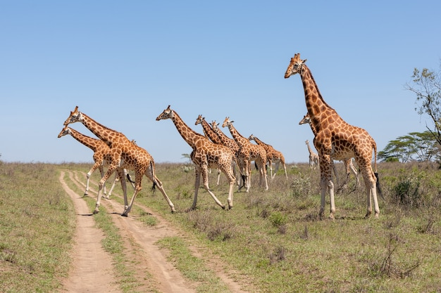 Giraffes herd in savannah