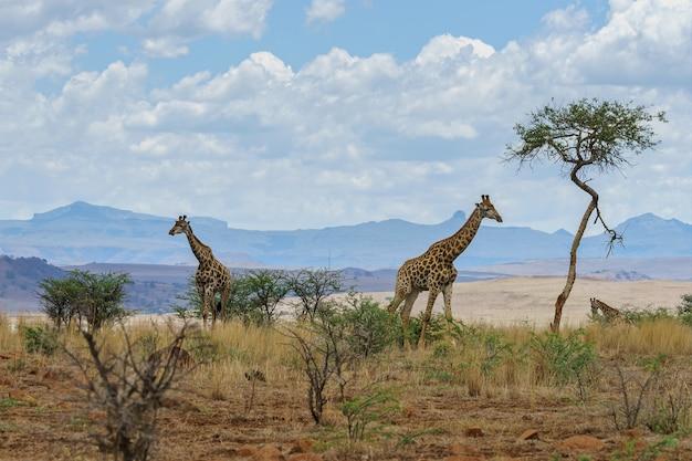アフリカの風景の中のキリン