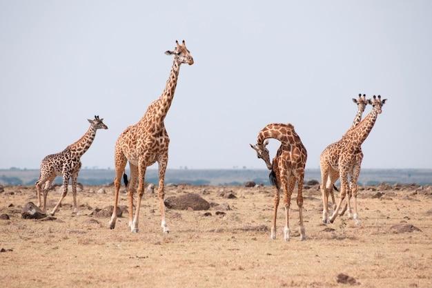 Жирафы в кении