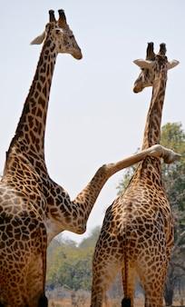 Жирафы в национальном парке южная луангва - замбия
