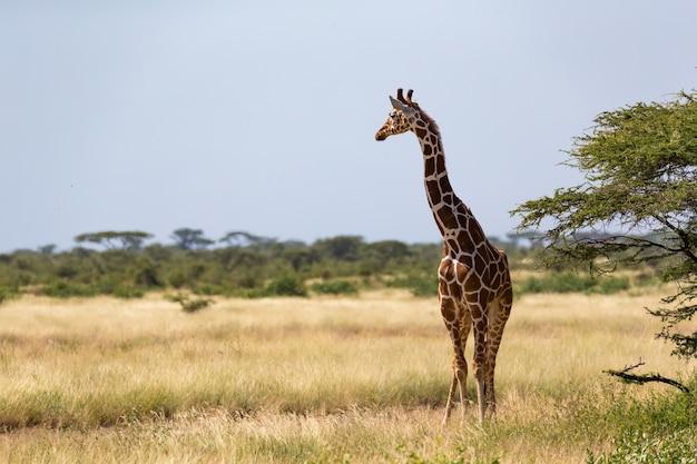 ケニアのサバンナのキリン
