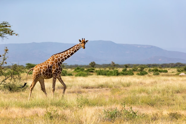 Giraffes in the savannah of kenya with many trees and bushes in the background