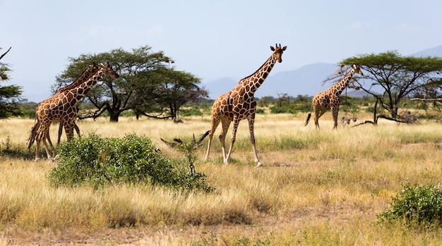 Giraffes in the savannah of kenya with many trees and bushes