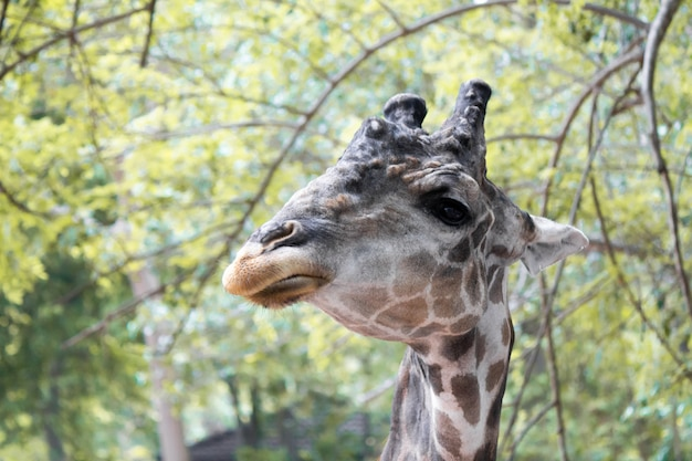 Giraffes that are eating trees at daytime.