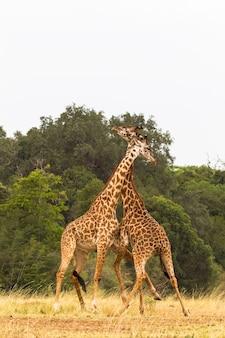 Жирафы битва в саванне кения африка