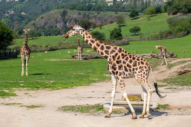 Giraffes walk on green field, animals in wild.