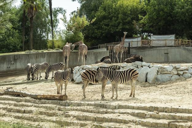 キリン、シマウマ、ヌーは、西洋の動物園で準飼育下で飼育されています。