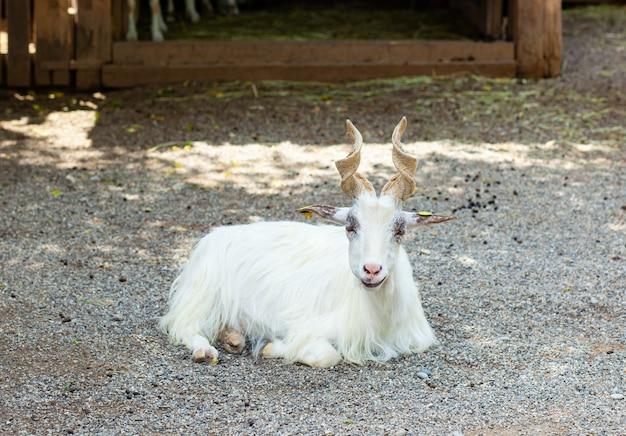 Girgentana goat (capra aegagrus hircus)