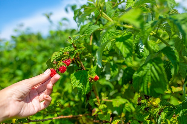 Girl on a bright sunny summer day picks red ripe raspberries from a green bush.