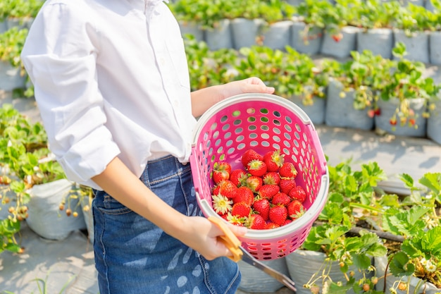 Girl child holding bucket of fresh red organic strawberries in the garden, selective focus