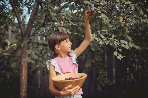 Girl collects ripe plum in the garden in a wooden basket.