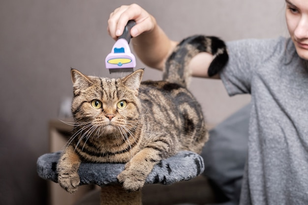 A girl combs a cat of the scottish straight breed with a furminator. pet care.