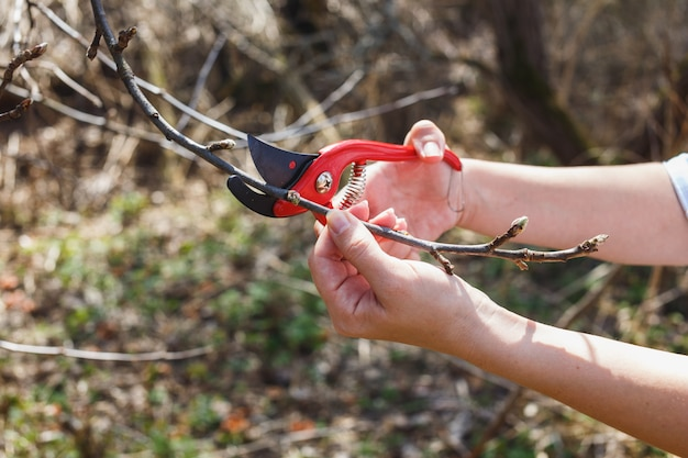 The girl cuts off the branches of the apple red secateurs in the garden